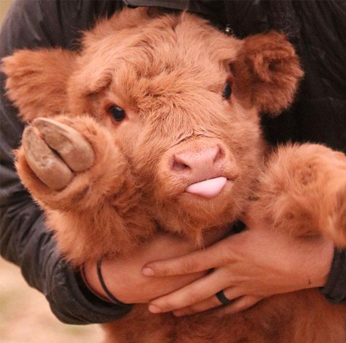 Boli ste už v Škótsku? Nezabudnite vyobjímať miestne horské kravičky, ktoré behajú všade okolo vás