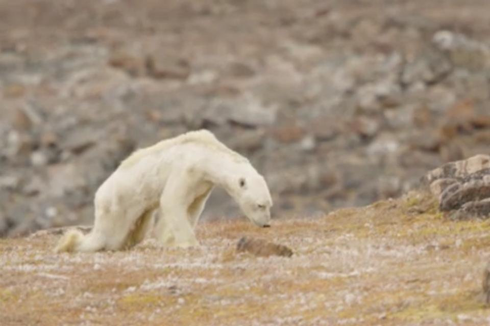 Smutné video vyhladovaného polárneho medveďa, ktorý nemá kde loviť kvôli oteplovaniu