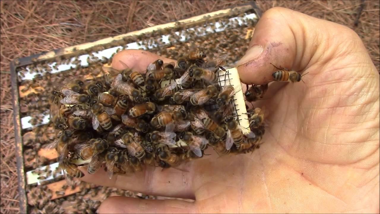 Včelia kráľovna po záchrane života zaspievala včelárovi, aby sa mu odvďačila