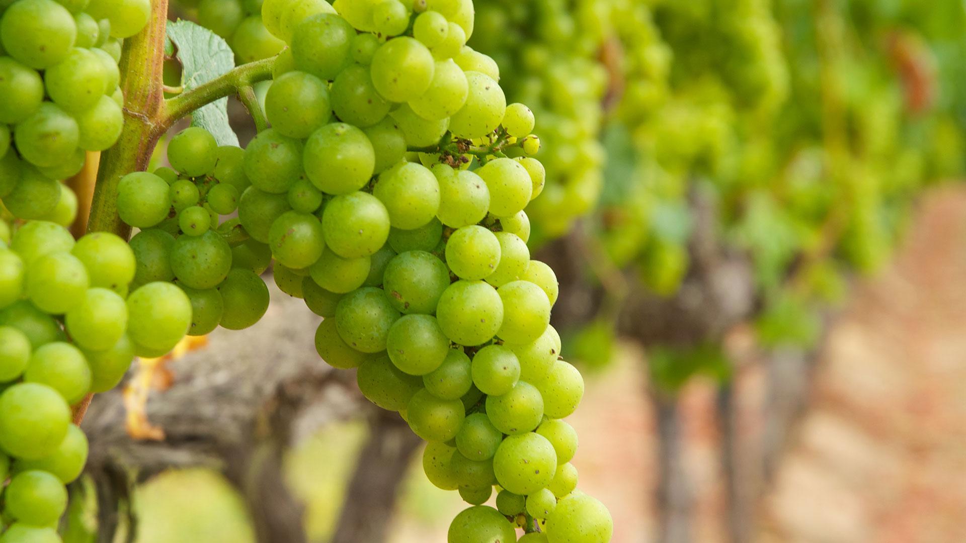 Vinice sú pripravené na zber opár týždňov skôr