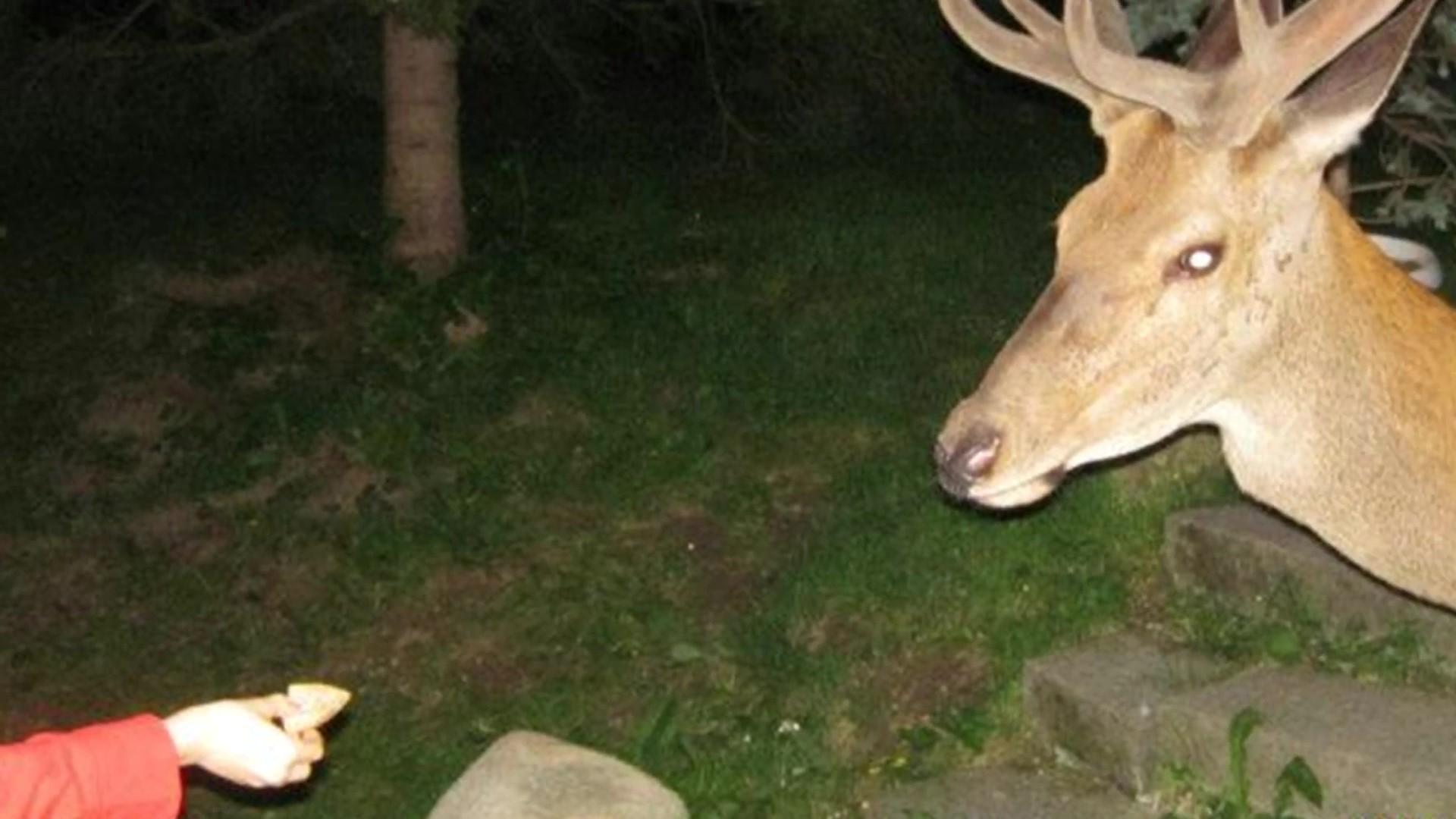 Kŕmenie jeleňov v hoteloch