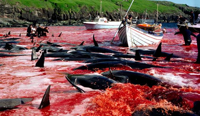 More pri Faerských Ostrovoch opäť očervenelo po brutálnom zabití 180 veľrýb